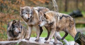 Вовки Чорнобиль